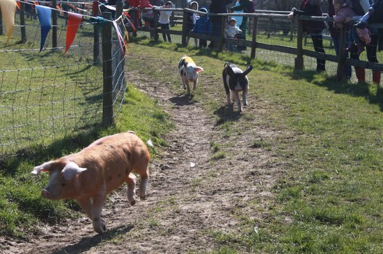 Leatherhead, UK: pig race