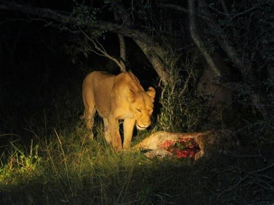 Elephant Plains Game Lodge: lioness and her kill