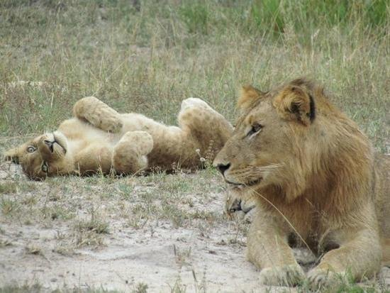 Elephant Plains Game Lodge: young lion and cub near EP