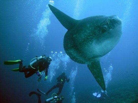 Seminyak, Indonesien: Mola Mola Sun Fish