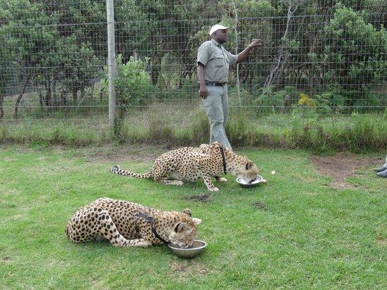 Tenikwa Wildlife Awareness Centre: Cheetah's at Tenikwa