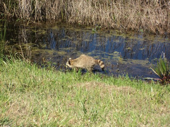 Savannah National Wildlife Refuge: Raccoon