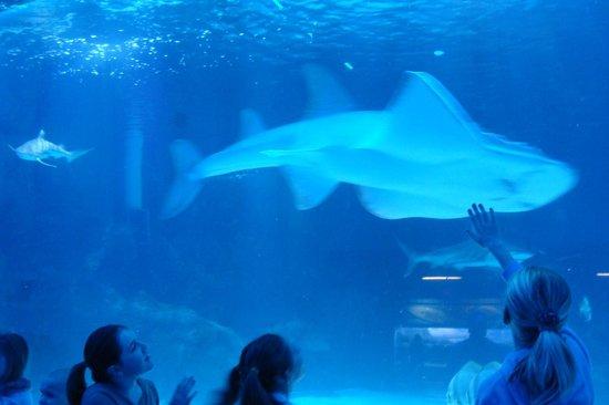 Newport Aquarium: shark rays