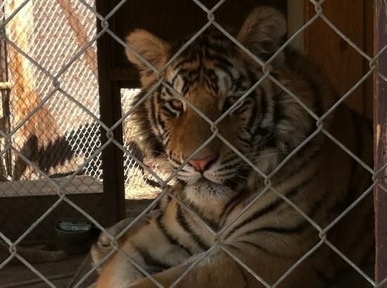 Tiger World: beautiful!
