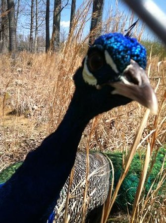 Tiger World: the very friendly, beautiful peacock