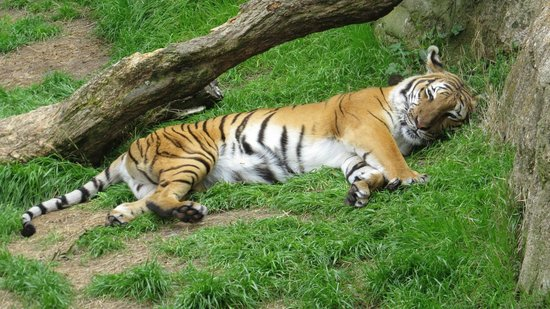 Fort Worth Zoo: tiger