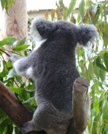 Rainforestation Nature Park: Koalas