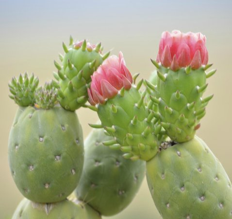 African Heritage House: cacti blooming