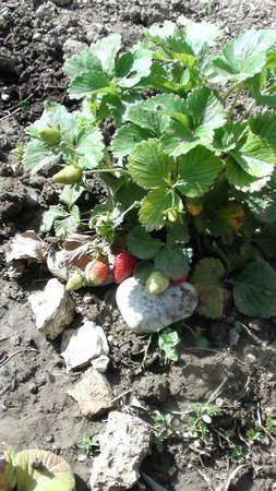 Uliveto Guest House: lovely fresh strawberries