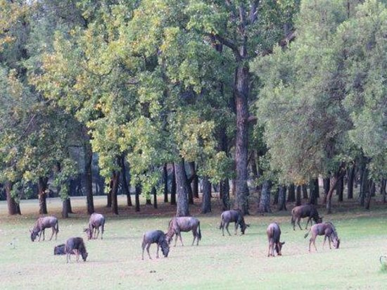 "Hoogland Health Hydro : Wildebeest ""mowing the lawn"""