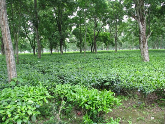 Bansbari Lodge: Tea garden in front of the lodge