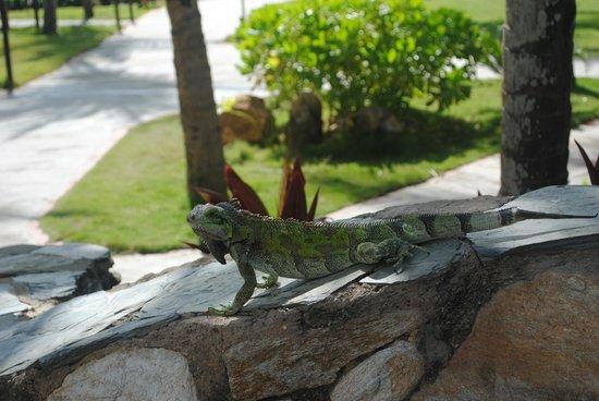 Isla Caribe Beach Hotel: Visiting iguana