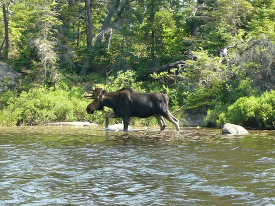Hungry Jack Canoe Outfitters and Cabins : Moose in the BWCAW
