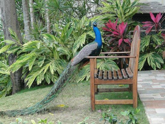 Sandals Royal Plantation: Überall die Haustiere des Hotels