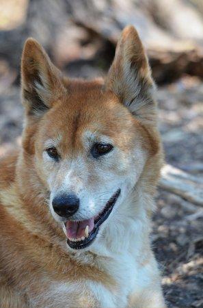 Dingo in his pen beautiful animal voltagebd Image collections