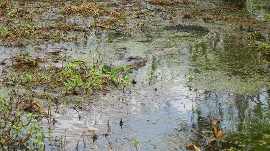 Champagne's Cajun Swamp Tours: Un alligator qui se repose !
