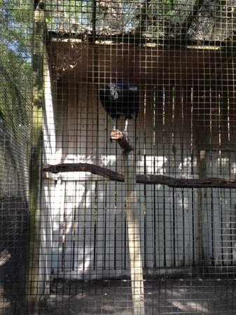 Moccasin Lake Nature Park: Elvis the resident black vulture