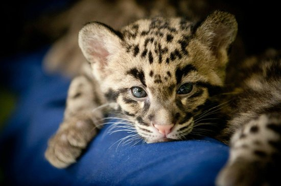 clouded leopard cubs born at the zoo march 2012 picture of point