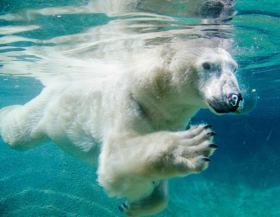‪‪Tacoma‬, واشنطن: See the majestic polar bears swim underwater‬
