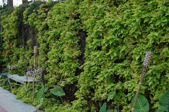 Rathbone Mansions: Sweet potato vine wall by pool.
