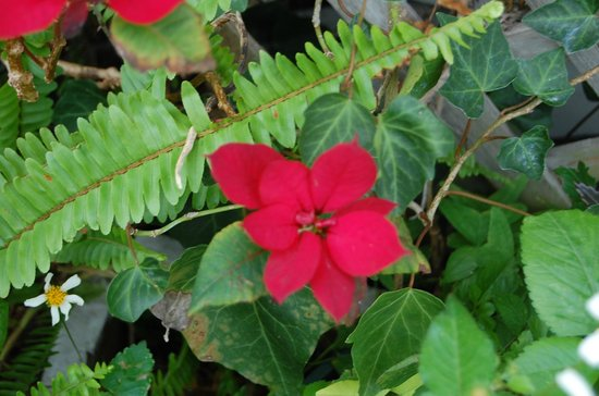 Rathbone Mansions: Poinsettia and fern.