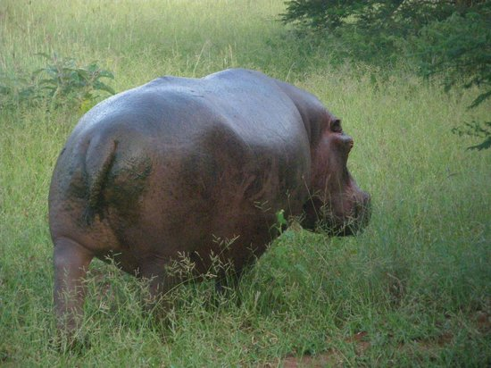 Protea Hotel Zambezi River Lodge: Hippo away for diiner.