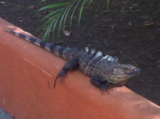 Hotel Flying Crocodile: Leguane in der Anlage