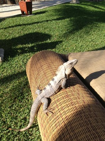 IBEROSTAR Paraiso Del Mar: People friendly lizards