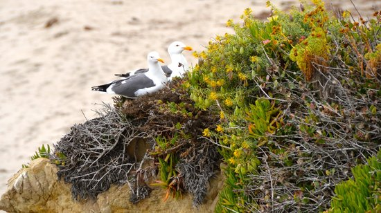 El Matador State Beach : Nesting