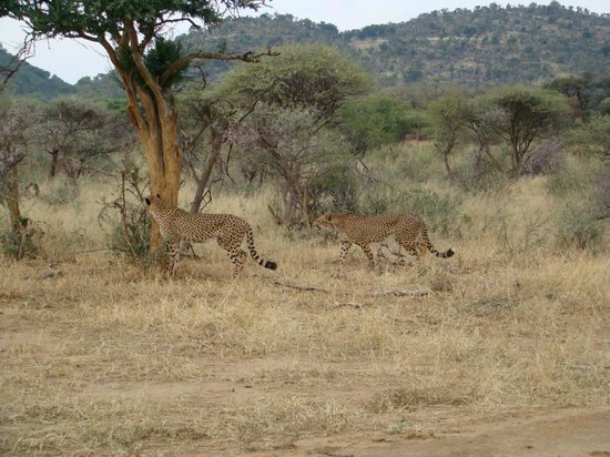 Madikwe Safari Lodge: Cheetah Sighting, Madikwe