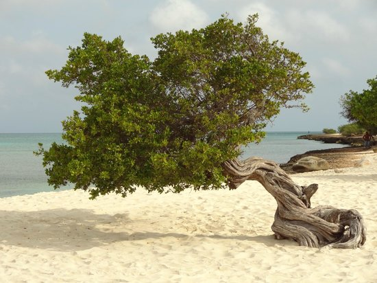 Eagle Beach: Divi Divi Tree...gorgeous!