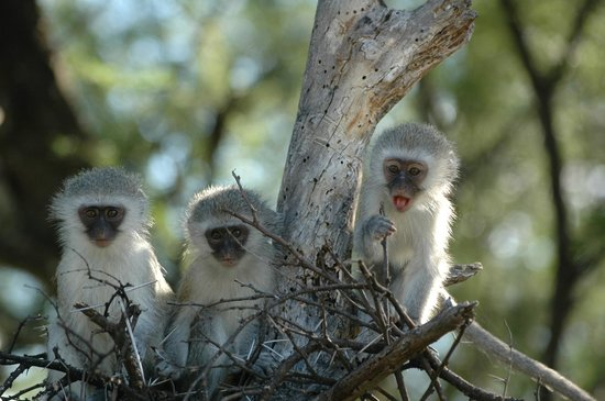 Thyme and Again B&B: vervet monkeys in Camdeboo park