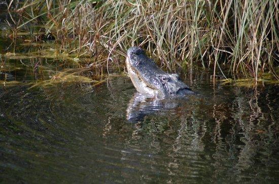 Gulf Islands National Seashore - Mississippi District - Davis Bayou: alligator