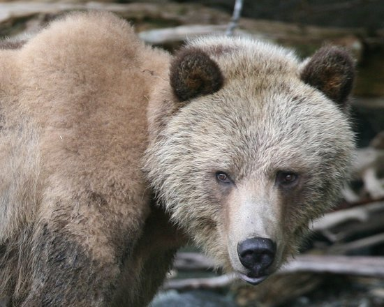 Knight Inlet Lodge: grizzly bear