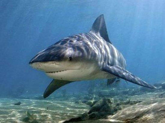 John Pennekamp Coral Reef State Park: Bull Shark