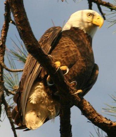 Cedar Point Environmental Park: bald eagle at park