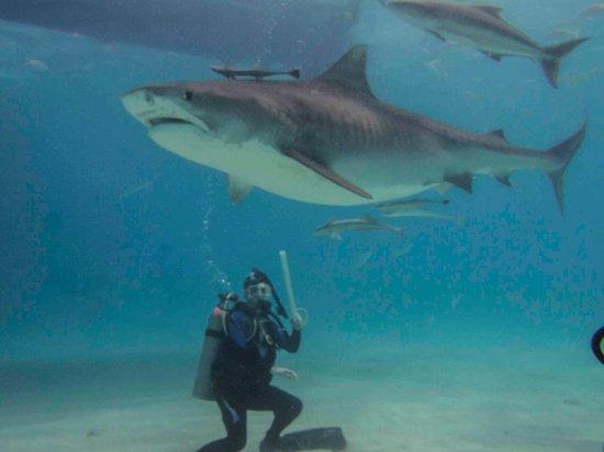 """Old Bahama Bay: Tiger Shark #2, """"I think we need a bigger stick"""""""