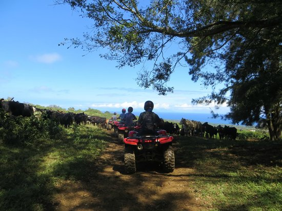 ATV Outfitters Hawaii: ATV fun with the cows