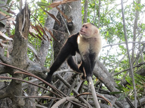 Cocomar Beachfront Hotel and Island Resort: White faced monkeys you can see on mangrove trip
