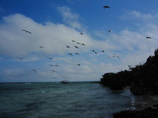 Hatchet Caye Resort: Pelicans feeding