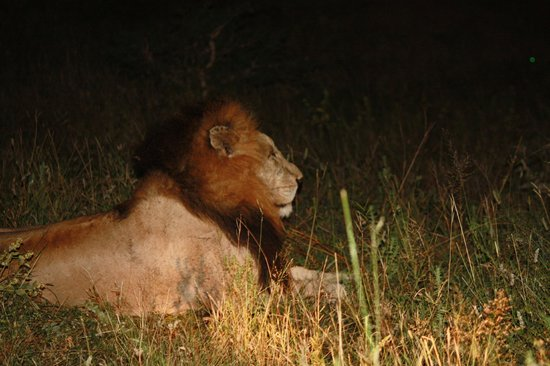 Thornybush Private Game Reserve, Afrique du Sud : Night viewing of Lion