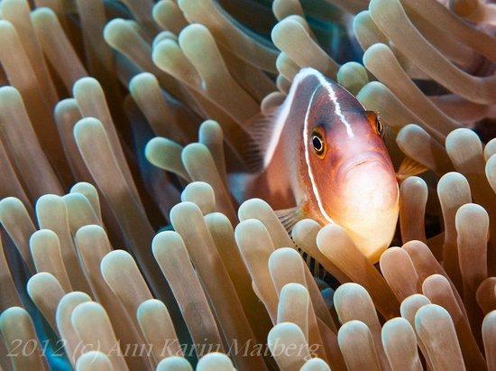 Baliku Dive Resort (Amed Bali Diving): Pink and white striped Clown Fish in Anemone