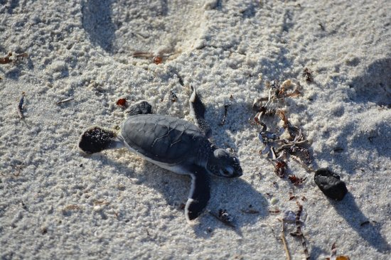 Protea Hotel by Marriott Dar es Salaam Amani Beach: Baby turtle hatching