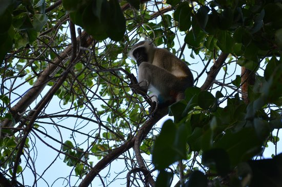 Protea Hotel Dar es Salaam Amani Beach: Monkey in front of our Villa