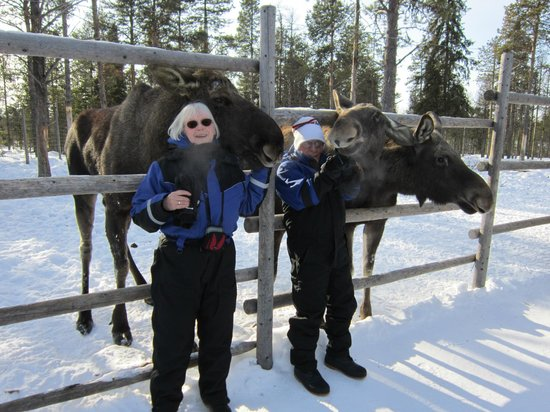 Friendly Moose Picture Of Davvi Arctic Lodge