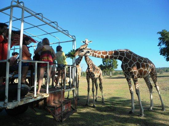 Calauit Wildlife Sanctuary: Feeding giraffes on board a cargo truck.