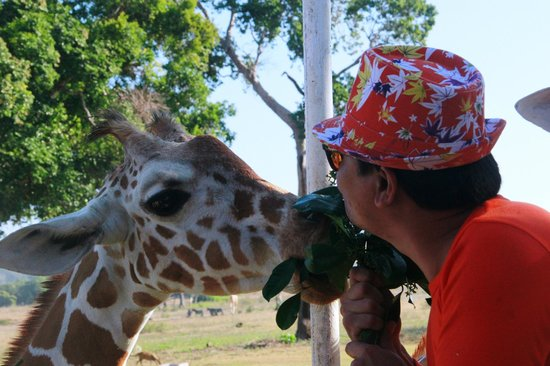 Calauit Wildlife Sanctuary: Making intimate with candid giraffe.