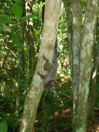 Tropical Forest: Sagui na Mata Atlântica