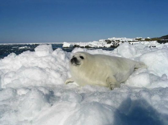 "Rothesay House Heritage Inn Bed & Breakfast: ""young seal on the ice"""