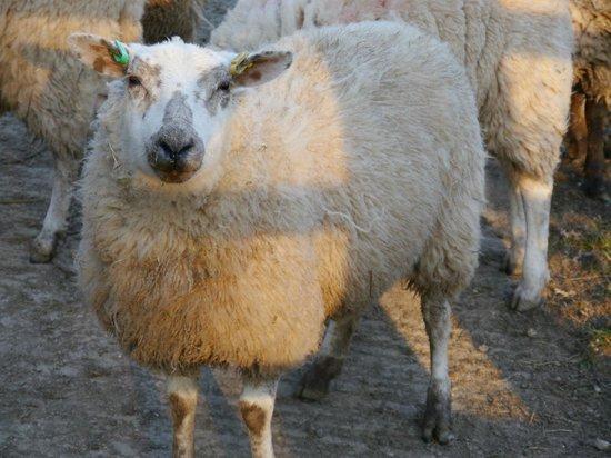 New House Farm : Sheep